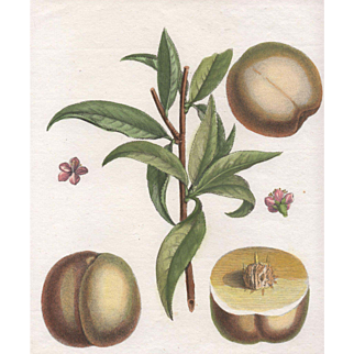"""Bourdin"", Botanical by Claude Aubriet (Fr: 1665-1742)"