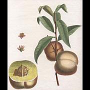 """Admirable"", Botanical Illustration by Claude Aubriet (Fr: 1665-1742)"