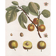 """Damas d'Italie"", Botanical Illustration by Claude Aubriet (Fr: 1665-1742)"