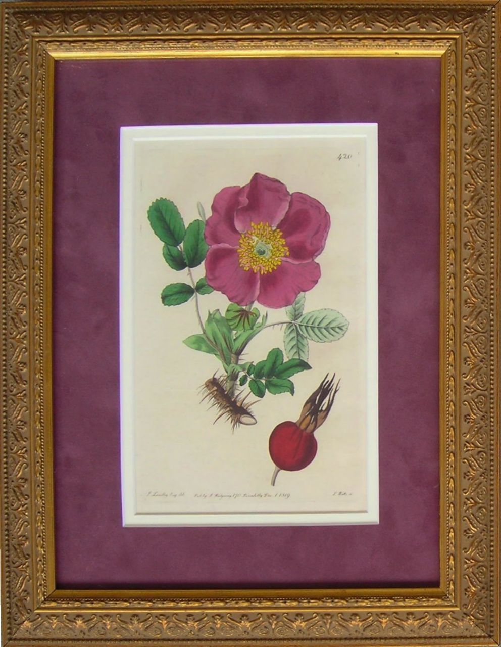 Hedgehog Rose - Botanical Engraving, circa 1819