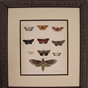 Moths, Antique Watercolored Lithograph by Emmons, 19th Century