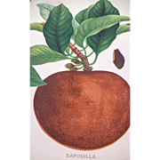 1889 Sapodilla Plum Fruit Chromolithograph Print