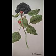 1909 Winfield Raspberry Chromolithograph Print