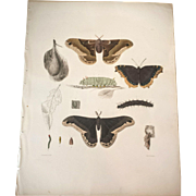 1854 Attacus Prometheus MOTH - Emmons Insect Entomology Lithograph