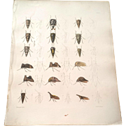 1854 Treehopper - Emmons Insect Entomology Lithograph Print