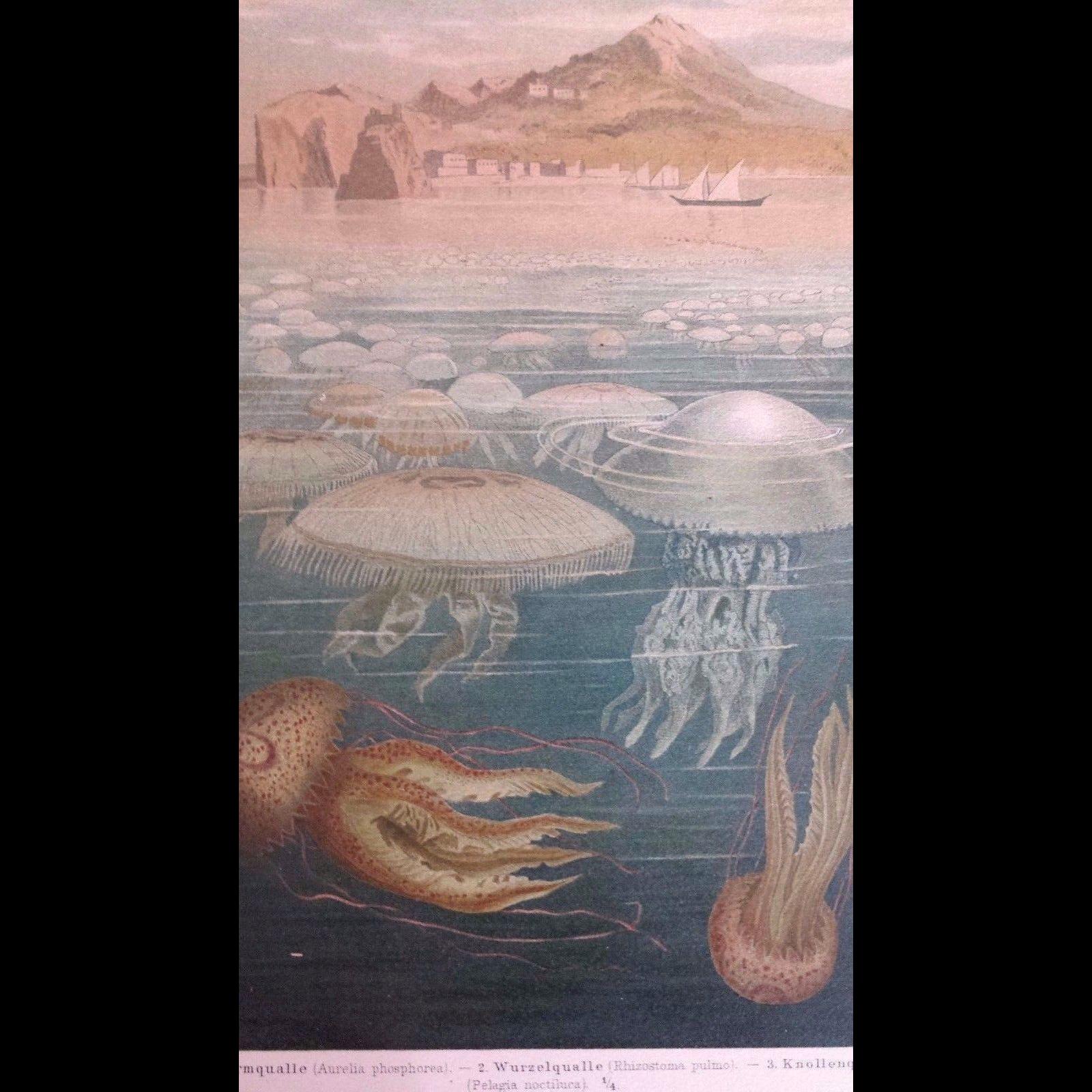 1890's Meyer's Chromolithograph - MEDUSEN I - Marine Jellyfish