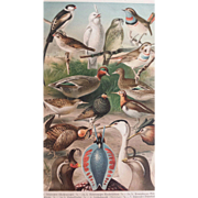 1890's Meyer Chromolithograph - HOCHZEITSKLEIDER - Birds with Bright Plumage