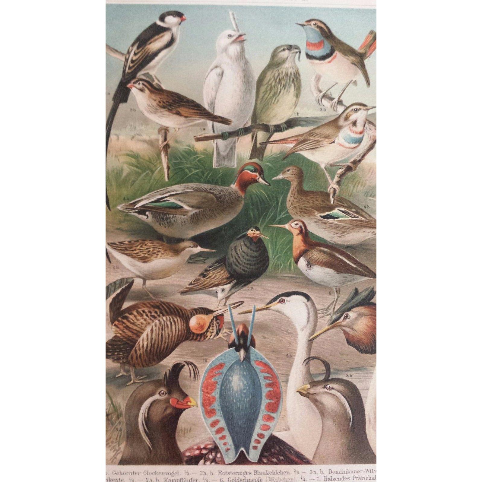 1890's Meyer Chromolithograph - HOCHZEITSKLEIDER - Birds with Bright Plumage