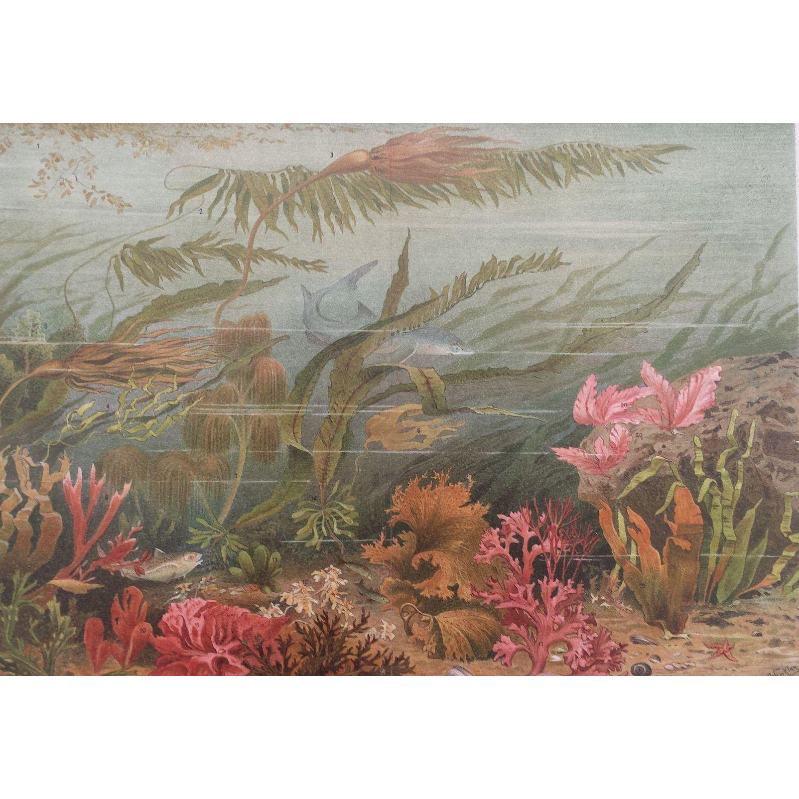 1890's Meyer's  ALGAE / SEAWEED / SHARK Marine Life Chromolithograph Print