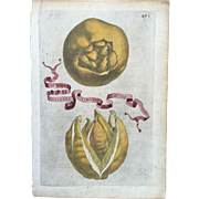 Antique 1646 Ferrari Botanical Lemon Citrus Engraving