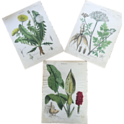Set 19th Century Hand Colored Botany Prints