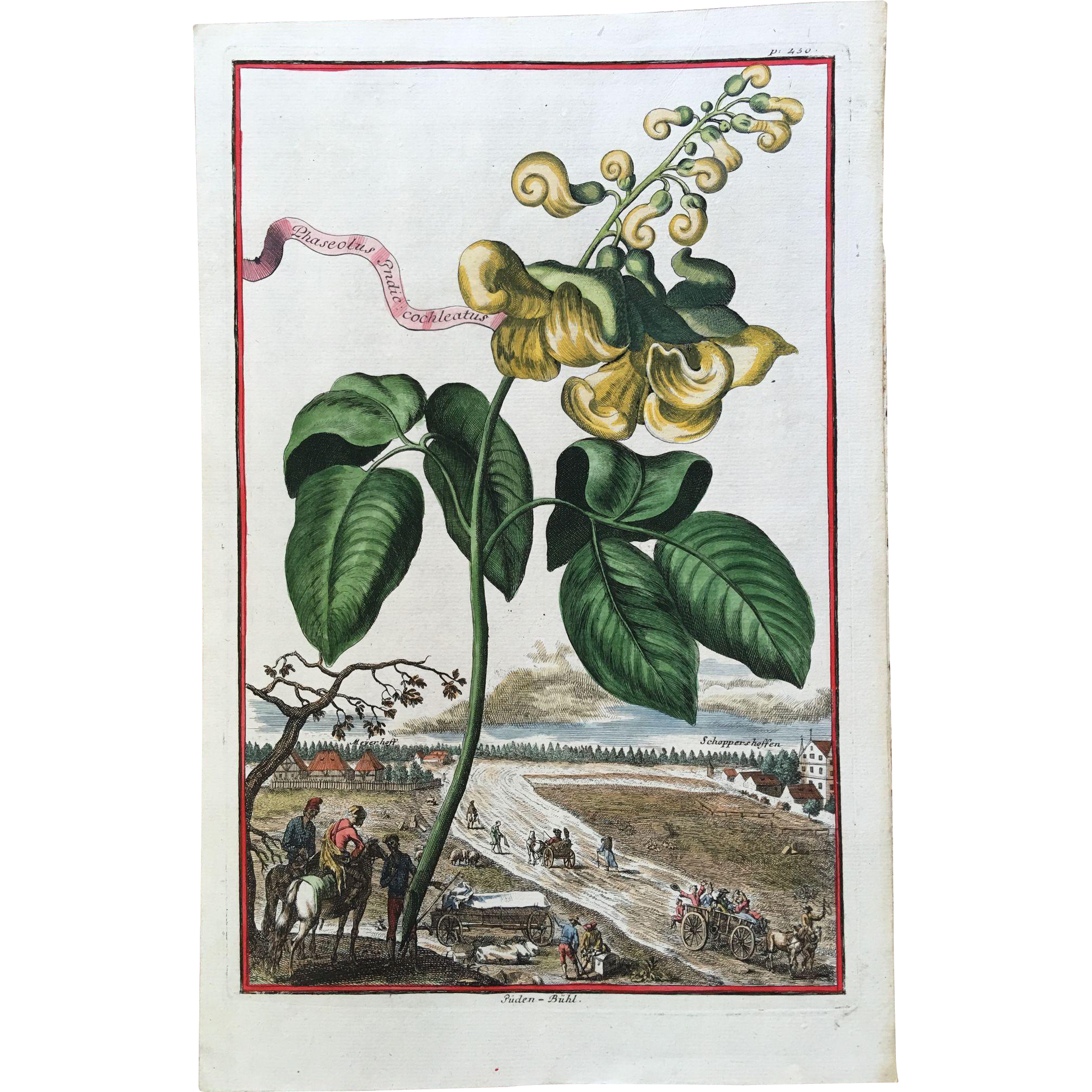 Early 18th Century Johann Volckamer Hand Colored Botanical Engraving