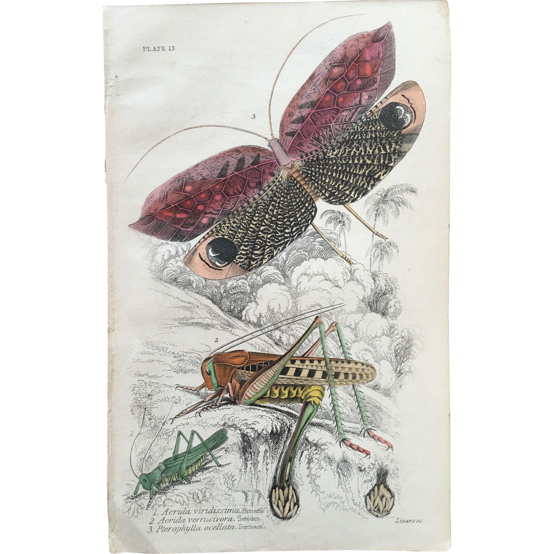 1800's Jardine Hand Colored Engraving - Grasshopper Print