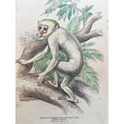 1800's Jardine Hand Colored Engraving - Macacus Brachyurus/ White Maimon Monkey