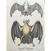1800's Jardine Hand Colored Engraving - Cheiroptera / Bat