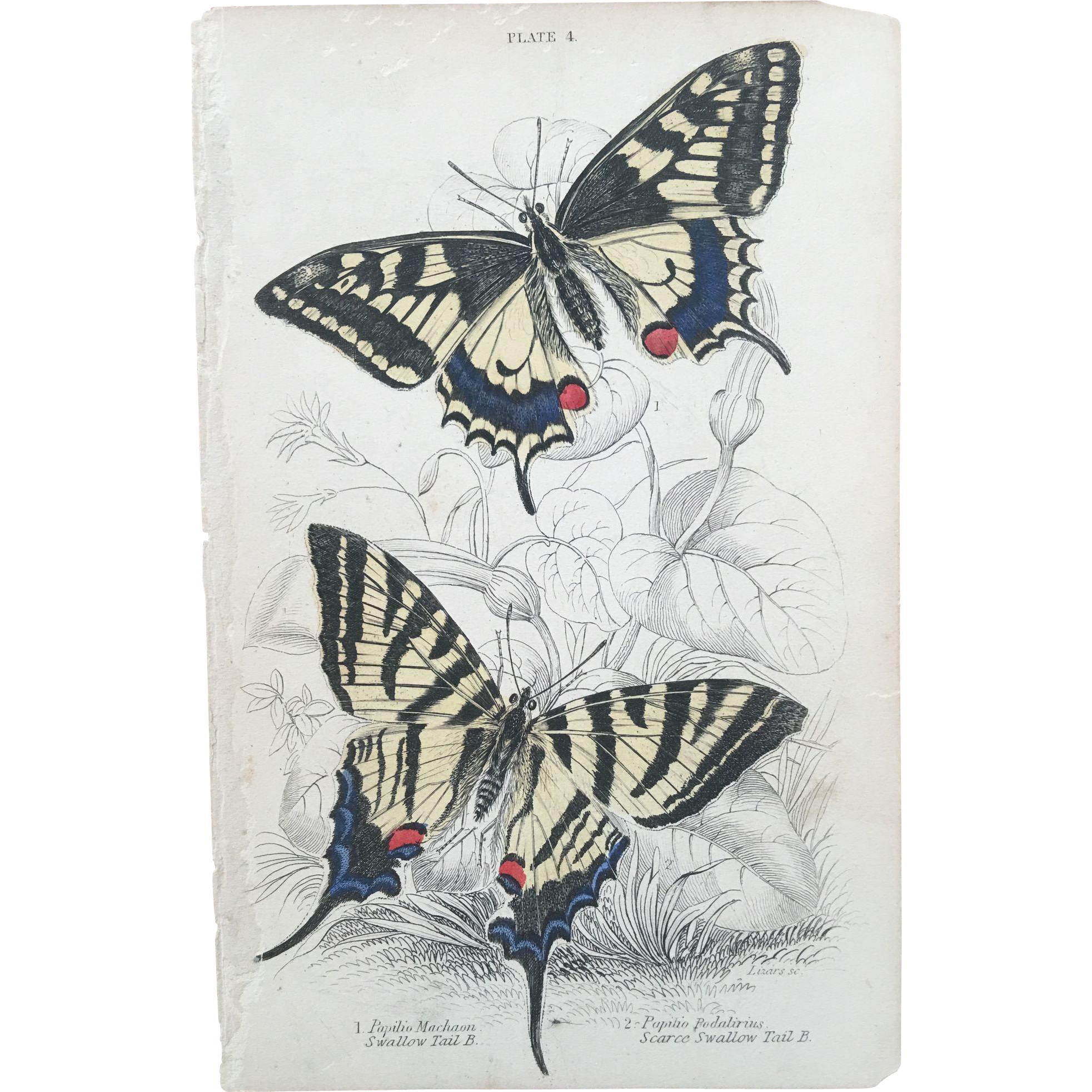 1800's Jardine Hand Colored Engraving - Swallow-Tail Butterflies