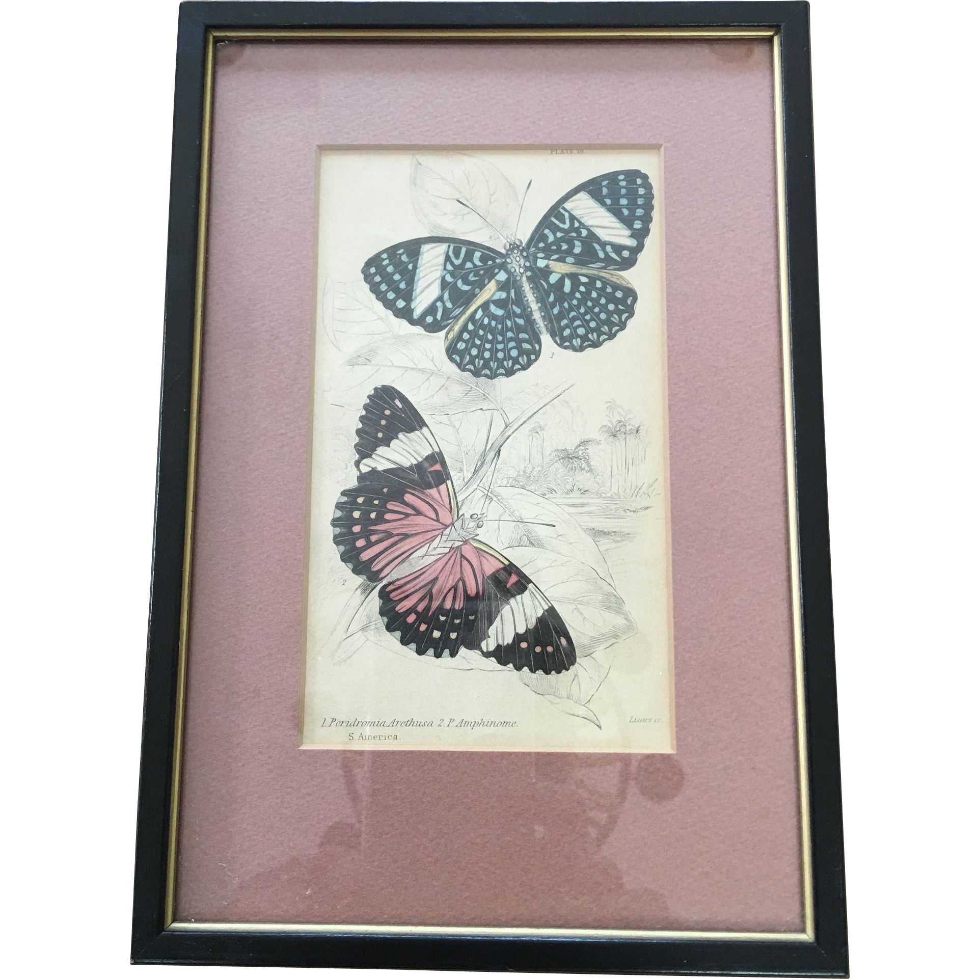 1800's Jardine Hand Colored Engraving - Butterfly Print
