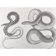 1860 U.S.P.R.R. Surveys Garter SNAKE Lithograph Print - Reptile Plate XII