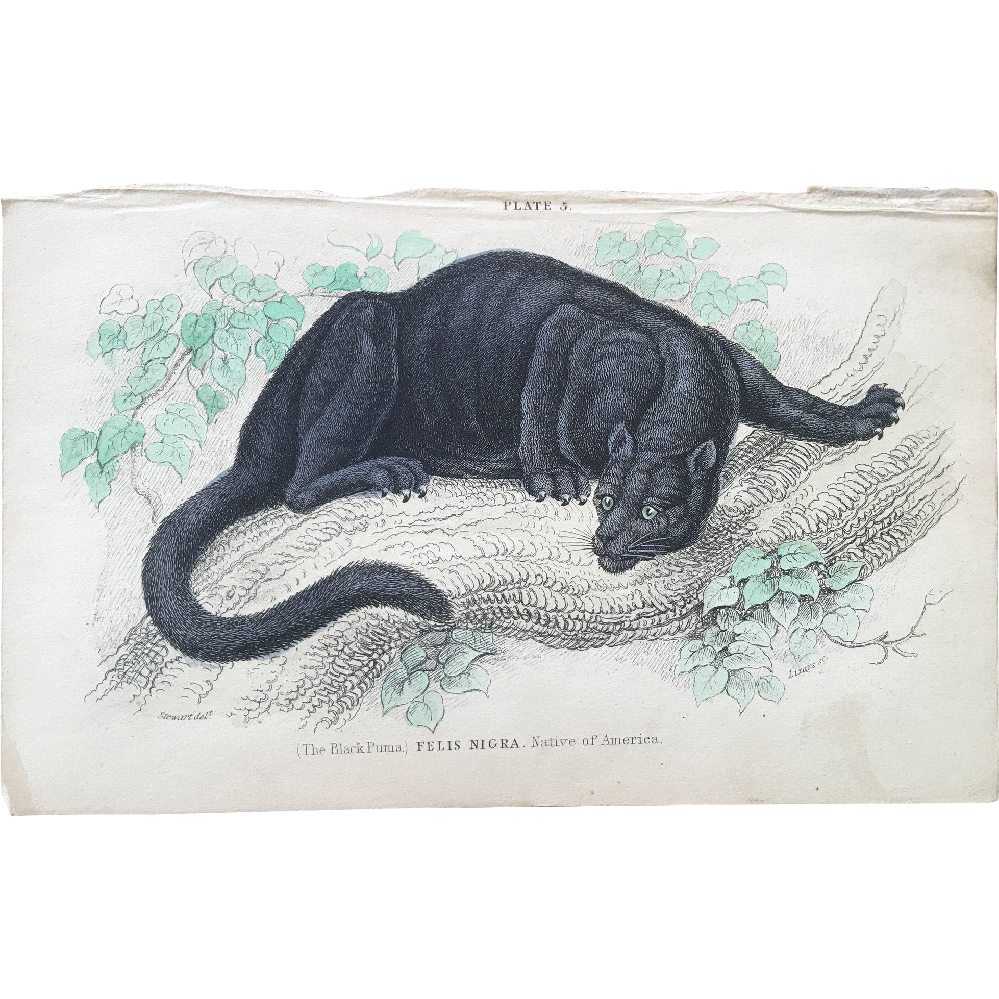 1800's Jardine Hand Colored Engraving - Felis Nigra / Black Puma