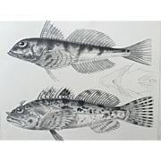 1860 U.S. P. R. R. Surveys FISH Lithograph Print - Plate XVI