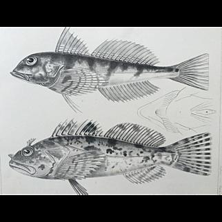 1860 U.S. P. R. R. Surveys FISH Lithograph Print - Plate XVI