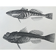 1860 U.S. P. R. R. Surveys FISH Lithograph Print - Plate XV
