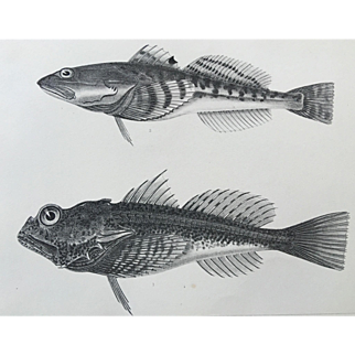1860 U.S. P. R. R. Surveys FISH Lithograph Print - Plate XV