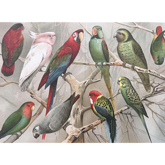 Antique Meyer's Chromolithograph PARROT Print