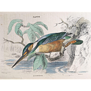 1800's Jardine Hand Colored KINGFISHER Engraving