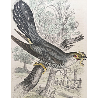 1800's Jardine Hand Colored CUCKOO Engraving