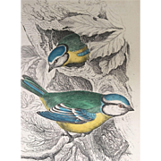 1800's Jardine Hand Colored BLUE TITMOUSE Engraving