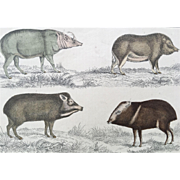19th Century Oliver Goldsmith Hog / Pig Engraving