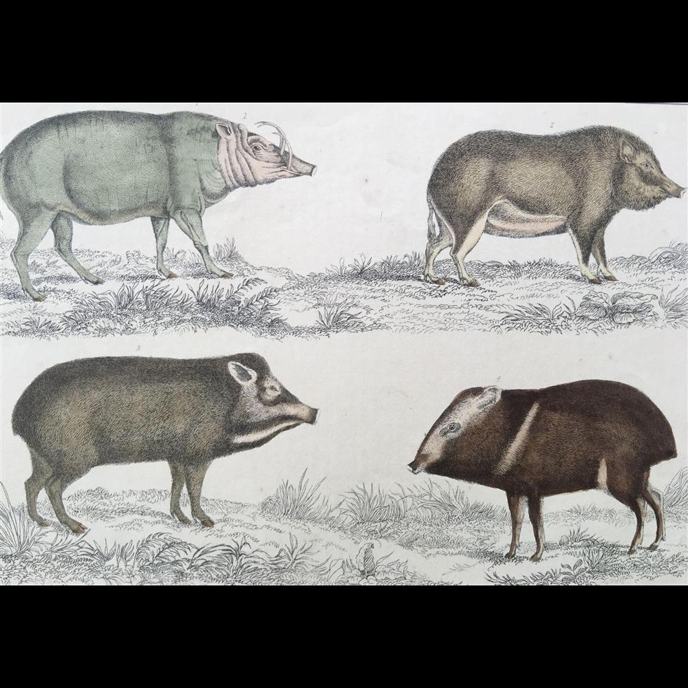 19th Century Oliver Goldsmith Hog / Pig Engraving