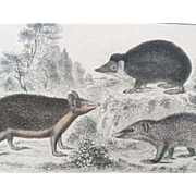 19th Century Oliver Goldsmith Hedgehog Engraving