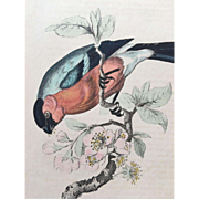 1800's Jardine Hand Colored BULLFINCH Engraving