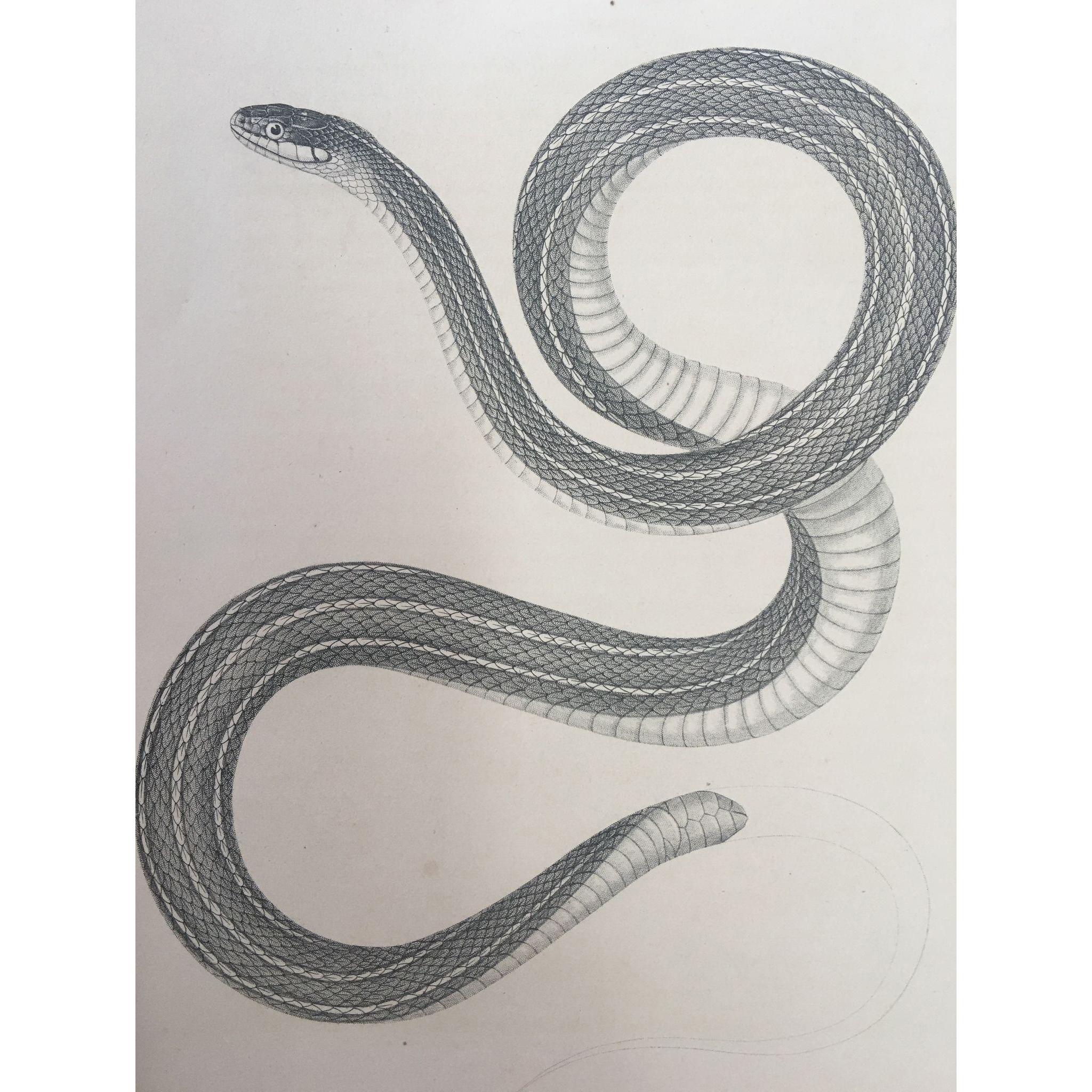 1860 U.S. P. R. R. Surveys Lithograph Print Small-Headed Striped Snake Plate # XIII