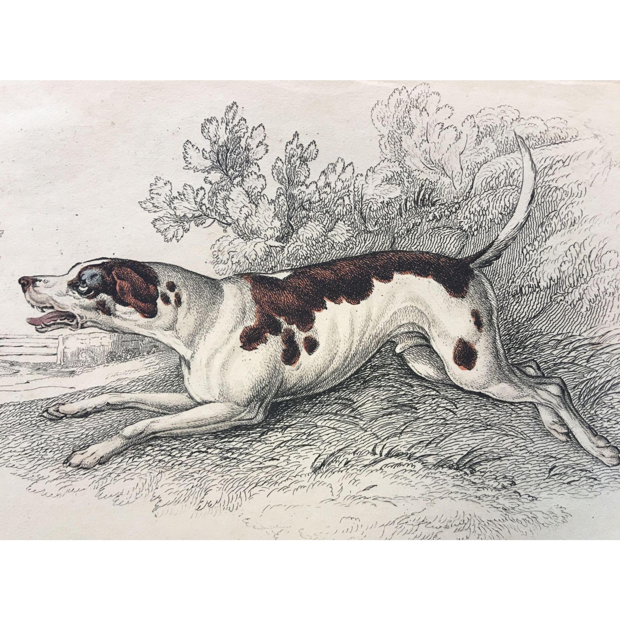 1800's Jardine Lizars Hand Colored  FOX HOUND DOG Engraving