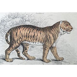 1800's Jardine Lizars Hand Colored FELIS TIGRIS Tiger Engraving