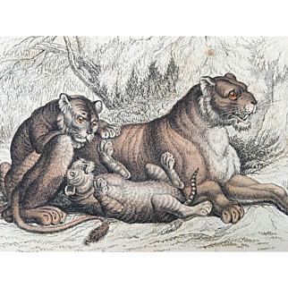 1800's Jardine Lizars Hand Colored FELIS LEO - Female Lion and Cubs Engraving