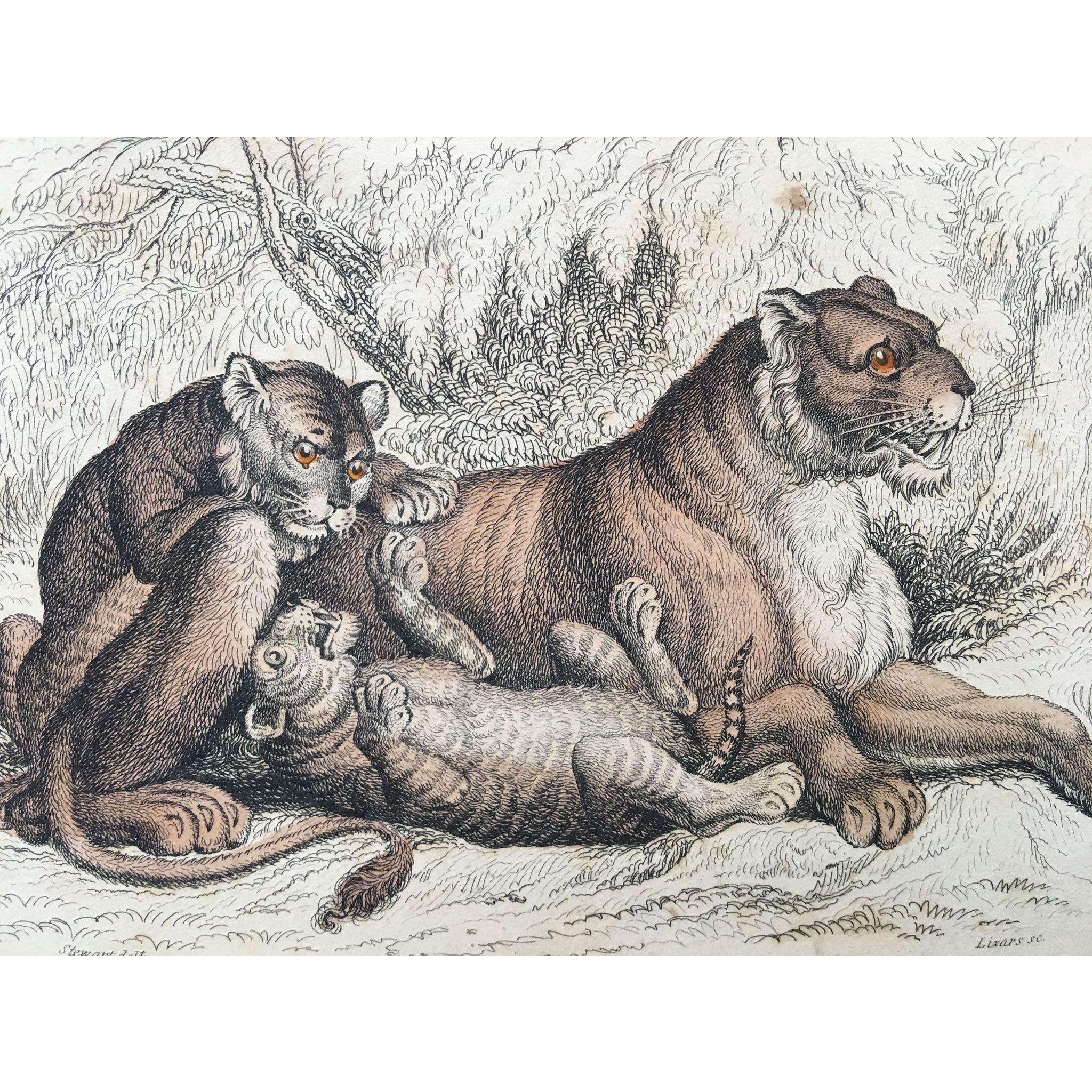 1800's Jardine Lizars Hand Colored FELIS LEO - Female Lion and Cubs Engraving