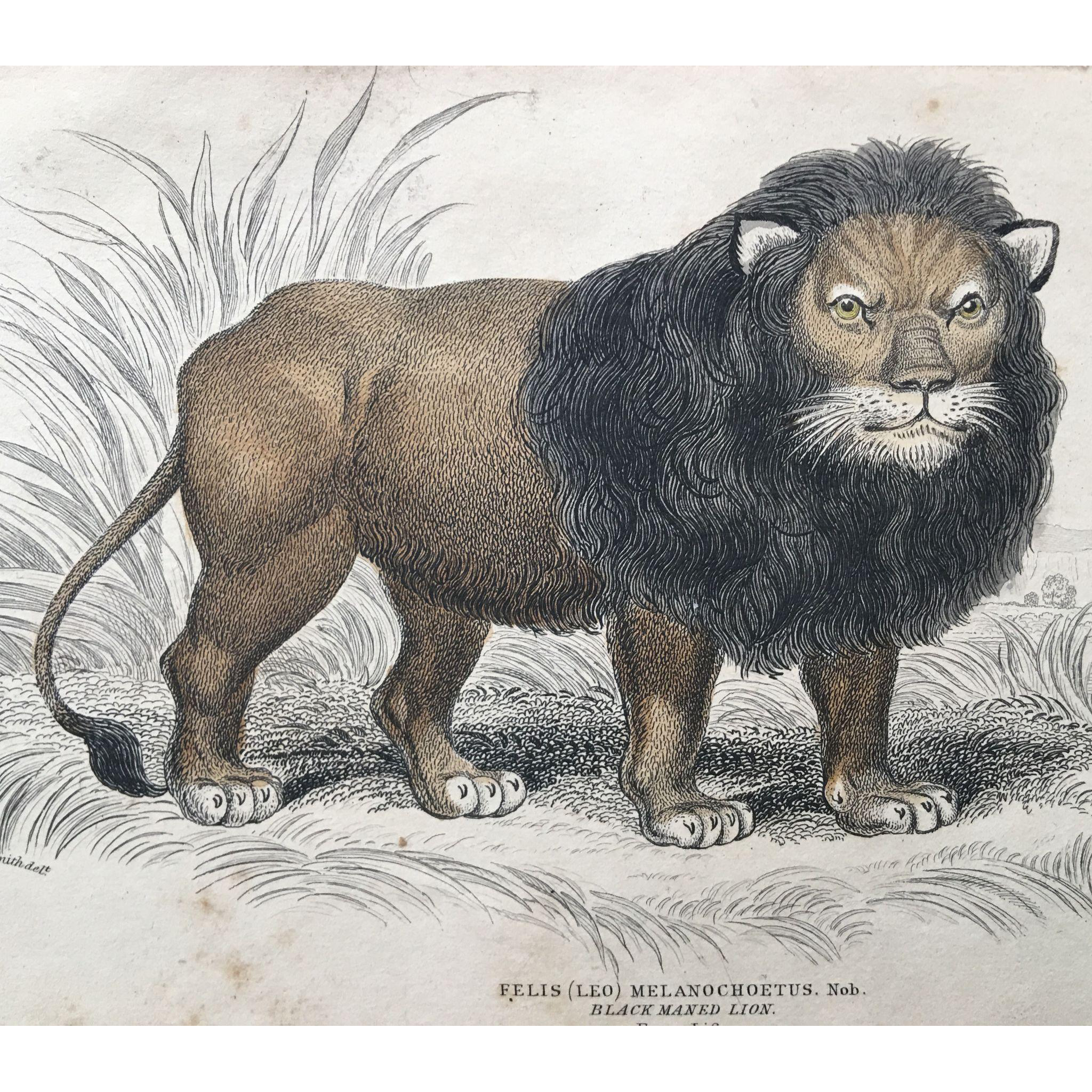 Antique Jardine Lizars Engraving FELIS LEO Melanochoetus - BLACK MANED LION