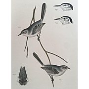 19th Century USPRR Bird Print ~ Tropical Gnatcatcher / Polioptila Plumbea