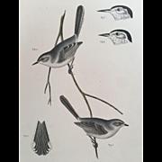 19th Century USPRR Bird Print ~ Tropical Gnatcatcher / Polioptila Plumbea