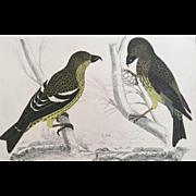 19th Century Oliver Goldsmith CROSSBILL Bird Engraving