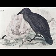19th Century Bechstein / Lizars Bird RAVEN Engraving
