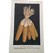 1909  Wisconsin Ears of Corn Chromolithograph Print