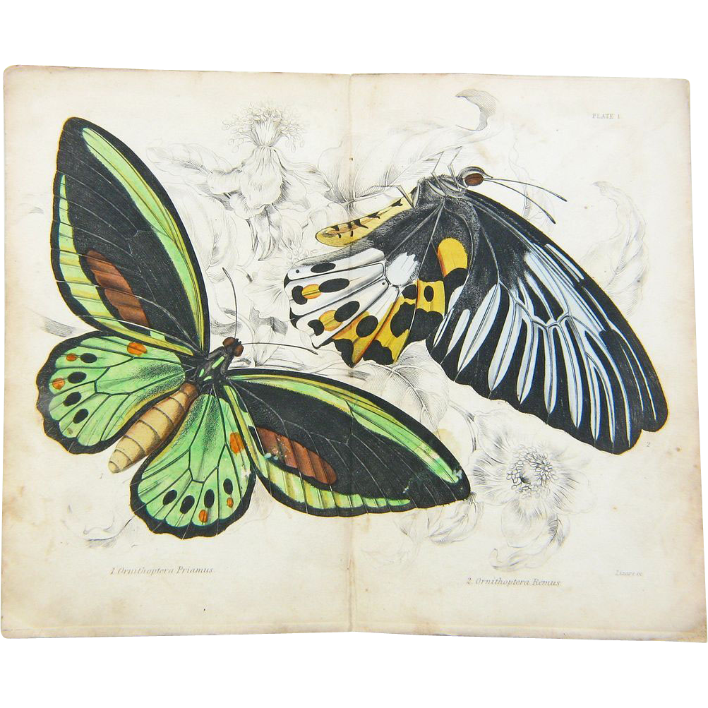 Original Hand Colored Butterfly Moth Print From The Naturalists Library Ca 1830 1840