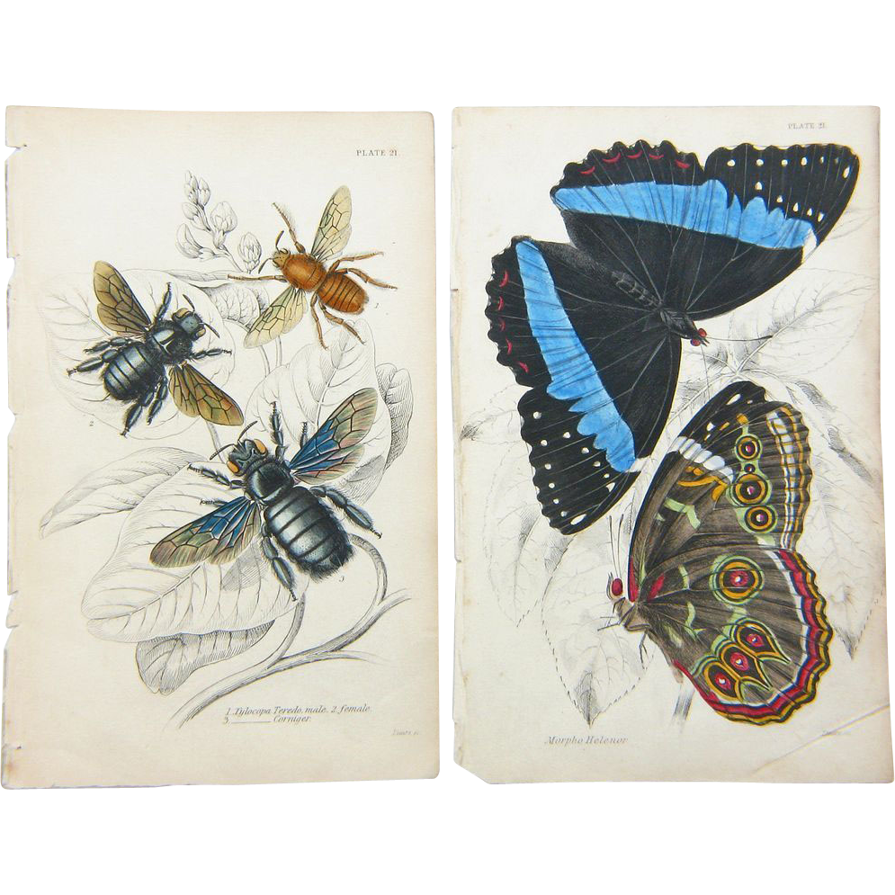 two original hand colored butterfly moth prints from the