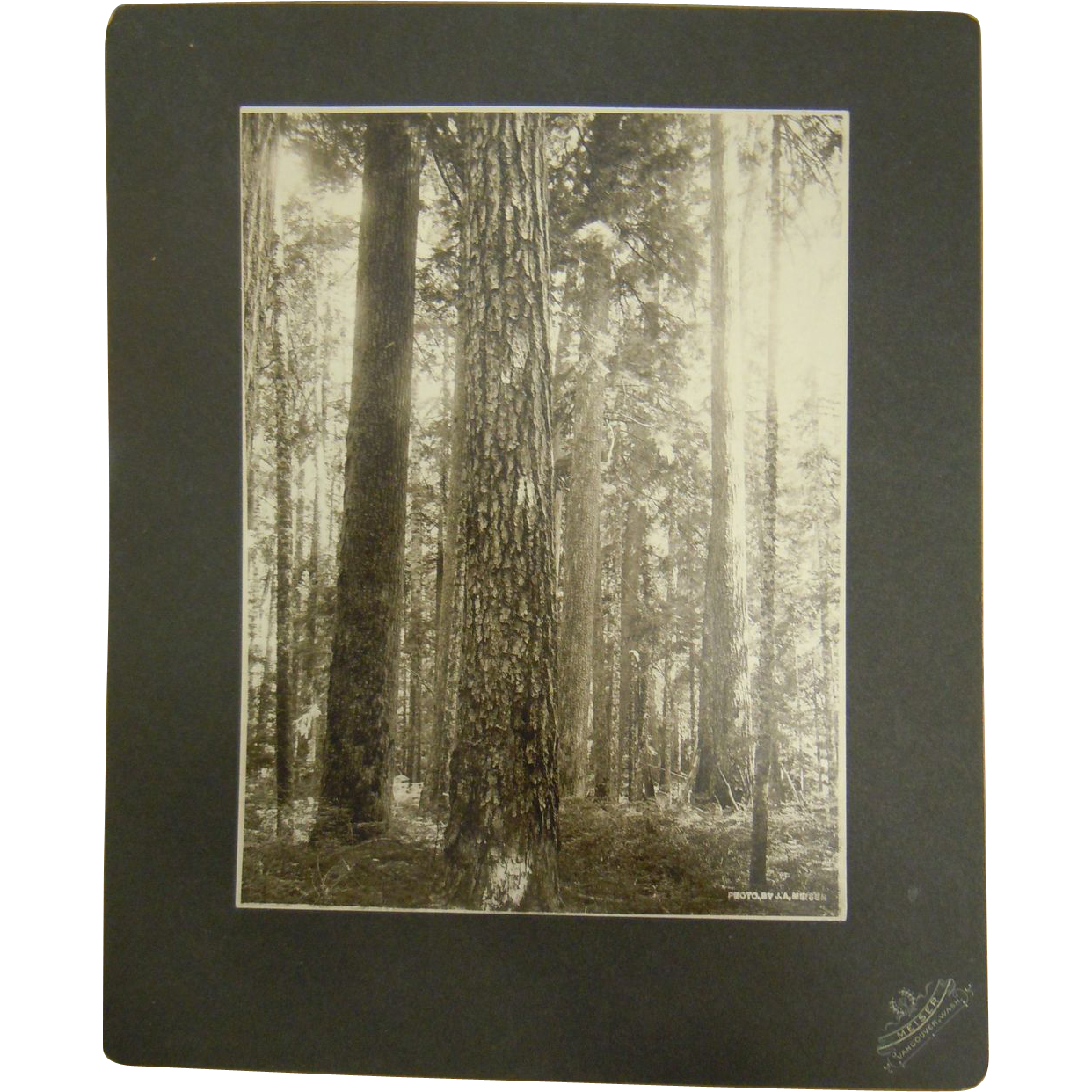 Original Antique B&W Photograph by J.A. Meiser Vancouver, Washington - Pacific Northwest Forest Trees