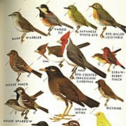 SCARCE 1961 'Field Guide To  Western Birds' and Hawaii  -  Roger Tory Peterson Illustrations & Text